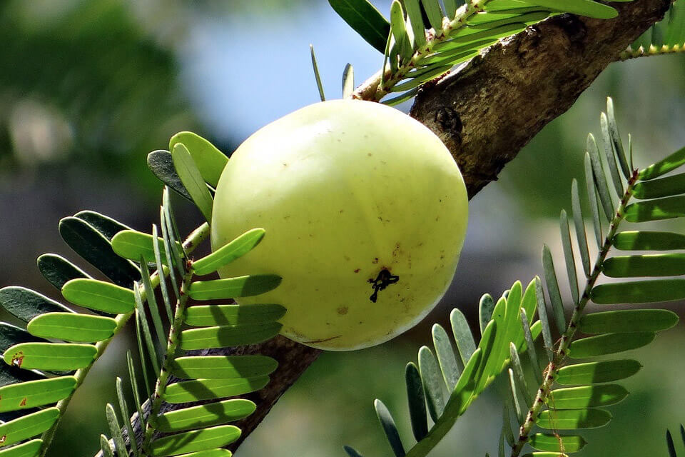 Use amla to stop your hair falling out. One of the best home remedies for hair growth.